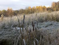 Reed branch covered with snow Royalty Free Stock Image