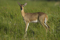 Reed buck Royalty Free Stock Images