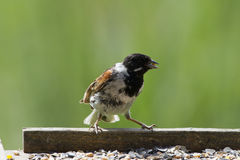 Reed Bunting Stock Photos
