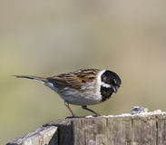 Reed bunting. On a post at Greylake nature reserve, Somerset Royalty Free Stock Photos