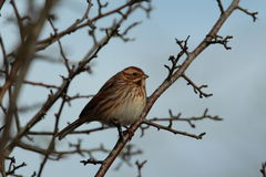 Reed bunting. Royalty Free Stock Photo