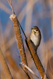 Reed bunting. Sitting on bulrush Royalty Free Stock Images