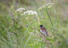 Reed Bunting Stock Foto's