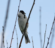 Reed Bunting. Standing on reed head Stock Photography