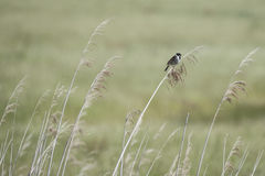 Reed Bunting Background Stock Photos