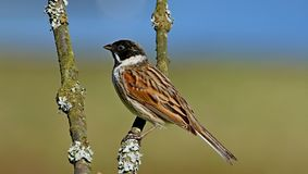 Reed Bunting bird perched on branch Stock Photos