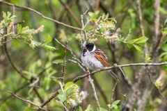 Reed Bunting bird Stock Images