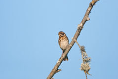 Reed bunting on a branch Stock Images