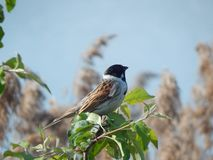 Reed bunting on branch Minsk, Belarus. Summer stock image