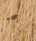Reed Bunting Royalty Free Stock Images