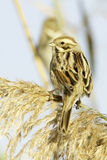 Reed Bunting, dans le plumage d'hiver (schoeniclus d'Emberiza) image stock