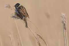 Reed Bunting eating Stock Photos