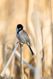 Reed Bunting, Emberiza schoeniclus Royalty Free Stock Photo