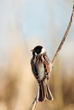 Reed Bunting, Emberiza schoeniclus Royalty Free Stock Images