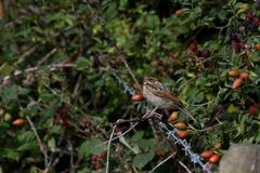 Reed Bunting (Emberiza schoeniclus) Stock Photos