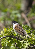 Reed Bunting ( Emberiza schoeniclus ) Stock Photos