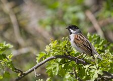 Reed Bunting ( Emberiza schoeniclus ) Royalty Free Stock Images