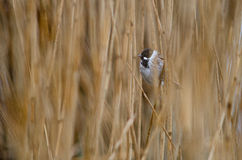 Reed bunting (Emberiza schoeniclus) amongst reeds. A wetland bird in the family Emberizidae, showing male breeding plumage and perching on reed royalty free stock photos