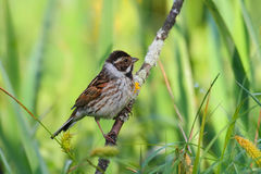Reed Bunting. Emberiza schoeniclus. Bird Royalty Free Stock Images