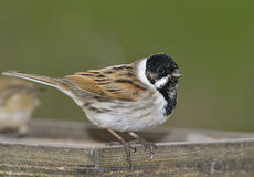 Reed Bunting Royalty Free Stock Image