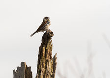 Reed bunting & x28;Emberiza schoeniclus& x29; male singing from post. A wetland bird in the family Emberizidae, with feathers blowing in wind and beak Stock Photo