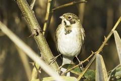 Reed bunting / Emberiza schoeniclus. Reed bunting in natural habitat / Emberiza schoeniclus Stock Photo