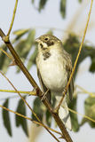 Reed bunting / Emberiza schoeniclus. Reed bunting in natural habitat / Emberiza schoeniclus royalty free stock photos