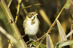 Reed bunting / Emberiza schoeniclus. Reed bunting in natural habitat / Emberiza schoeniclus Stock Image
