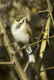 Reed bunting / Emberiza schoeniclus. Reed bunting in natural habitat / Emberiza schoeniclus Stock Photos