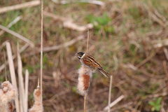 Reed Bunting (Emberiza schoeniclus) Perched on Bulrush Seed-Head. Reed Bunting on a bulrush with back and wings toward the camera. The seed-head of the bulrush Stock Photo