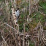Reed Bunting (Emberiza schoeniclus) Perched on Bulrush Seed-Head. A Reed Bunting perched on the seed-head of a bulrush that has burst and shed it's downy seeds Stock Images