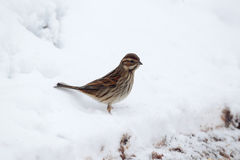 Reed bunting, Emberiza schoeniclus Royalty Free Stock Photography