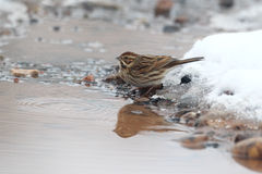 Reed bunting, Emberiza schoeniclus Royalty Free Stock Image