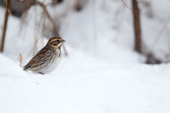 Reed bunting, Emberiza schoeniclus Stock Images