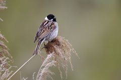 Reed bunting, Emberiza schoeniclus Royalty Free Stock Photos