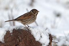 Reed bunting, Emberiza schoeniclus. Single male on snow, West Midlands, February 2010 Stock Photo