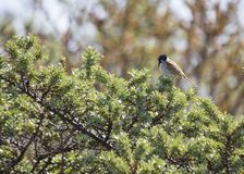 Reed Bunting (Emberiza schoeniclus) Royalty Free Stock Image