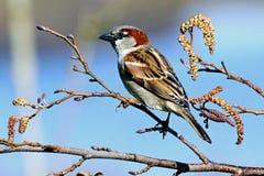 Reed Bunting fågel som sätta sig på filial Arkivbild