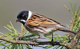 Reed Bunting fågel som sätta sig på filial Arkivfoto