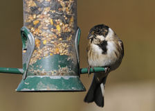 Reed Bunting on feeder Royalty Free Stock Photo