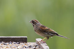 Reed Bunting Female Royalty Free Stock Image