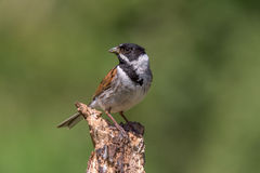 Reed Bunting with grubs. Reed bunting perched on a dead branch with a 2 green grubs in its beak Royalty Free Stock Photography