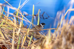 Reed Bunting male. Common Reed Bunting blackcap, Emberiza schoeniclus just arrived on the breeding ground, crossed the Arctic circle. Male in breeding plumage Royalty Free Stock Photo