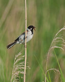 Reed Bunting male 2 stock photo