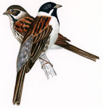 Reed bunting male-female (Emberiza schoeniclus) Royalty Free Stock Photos