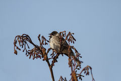 Reed Bunting. A Male Reed Bunting Singing on a Dry Bush Royalty Free Stock Image