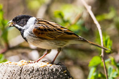 Reed Bunting Stock Photography