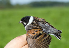 Reed bunting on the man's palm Stock Photography