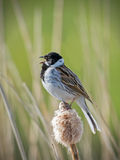 Reed Bunting masculin Photographie stock libre de droits