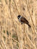 Reed Bunting Perched On um Reed foto de stock royalty free